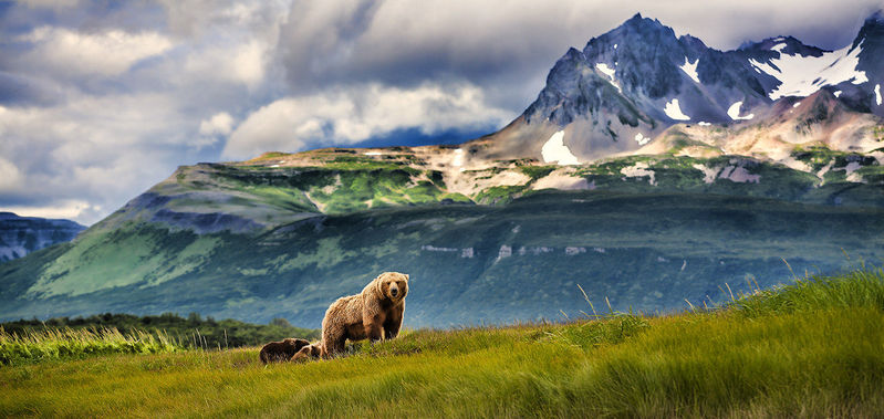 Grizzly Bear and cubs in Alaska Moutains.